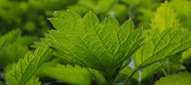 Dobre zioła regenerujące wątrobę